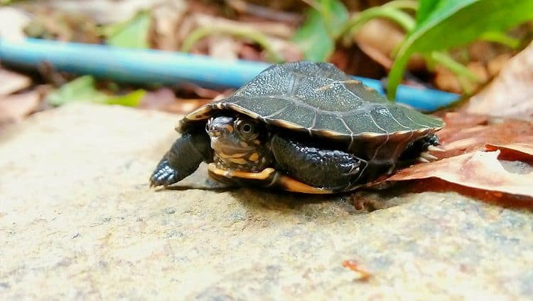 Indian Pond Terrapin